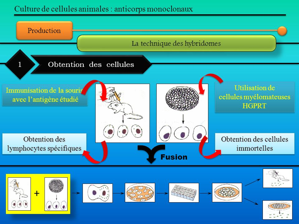 + Culture de cellules animales : anticorps monoclonaux Production