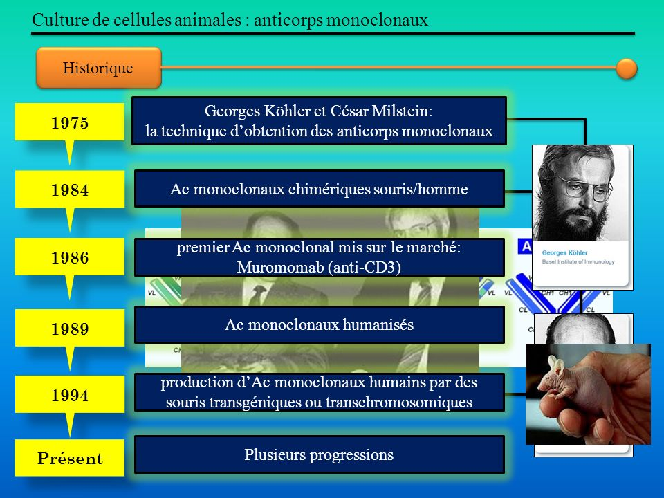 Culture de cellules animales : anticorps monoclonaux
