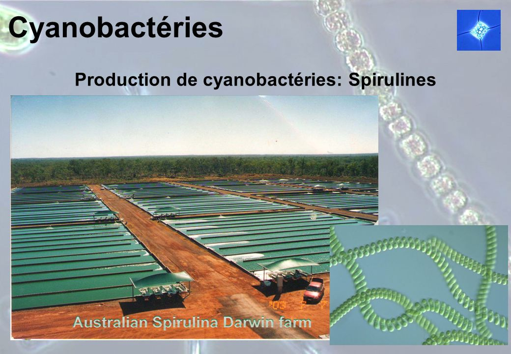Production de cyanobactéries: Spirulines