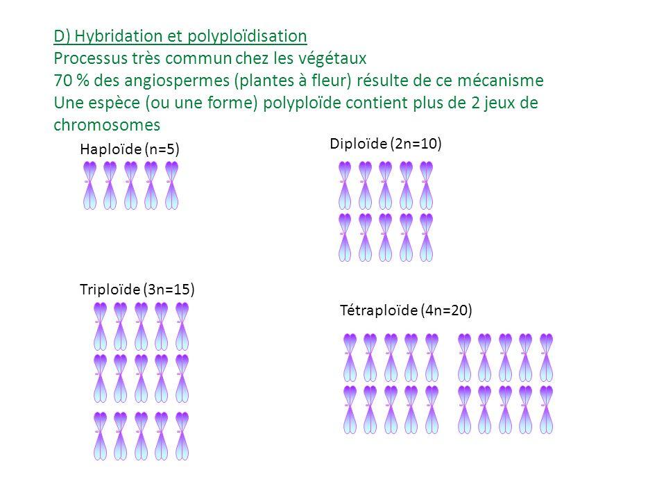 D) Hybridation et polyploïdisation