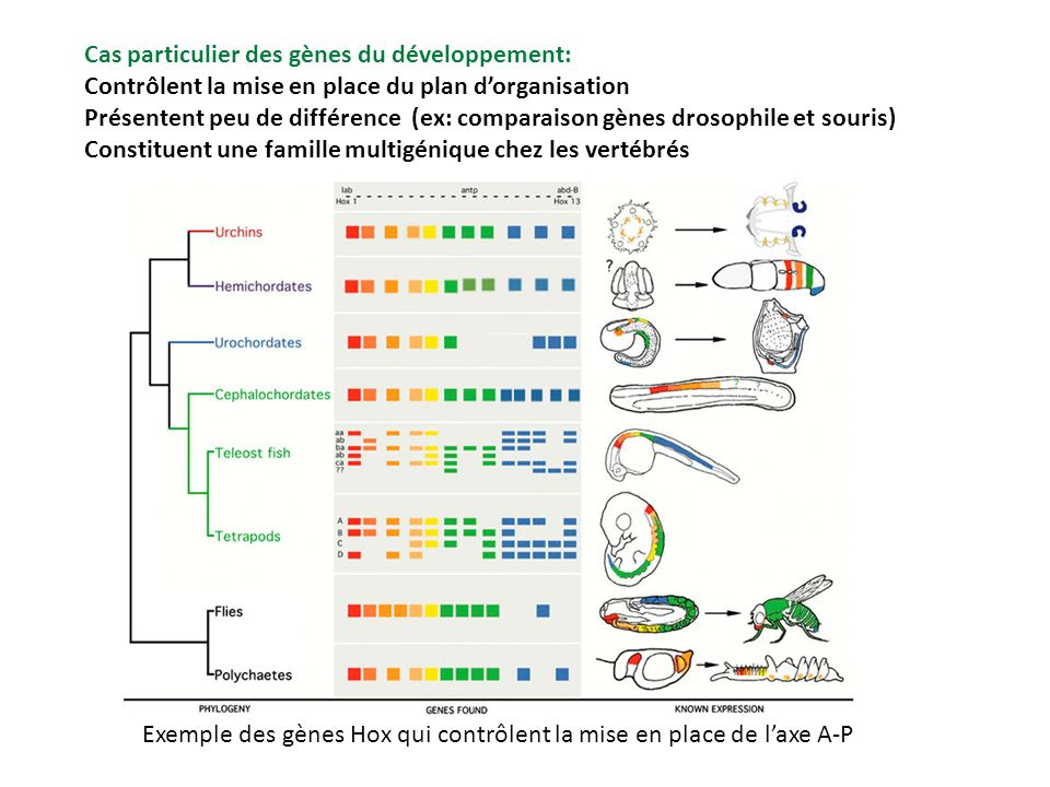 Cas particulier des gènes du développement: