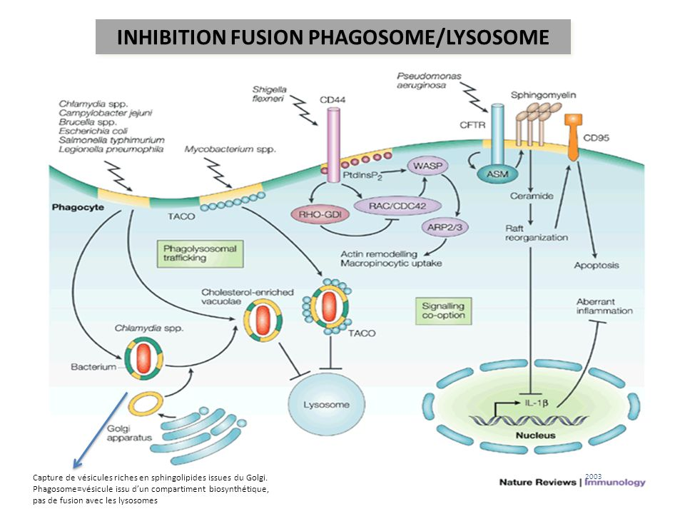 INHIBITION FUSION PHAGOSOME/LYSOSOME