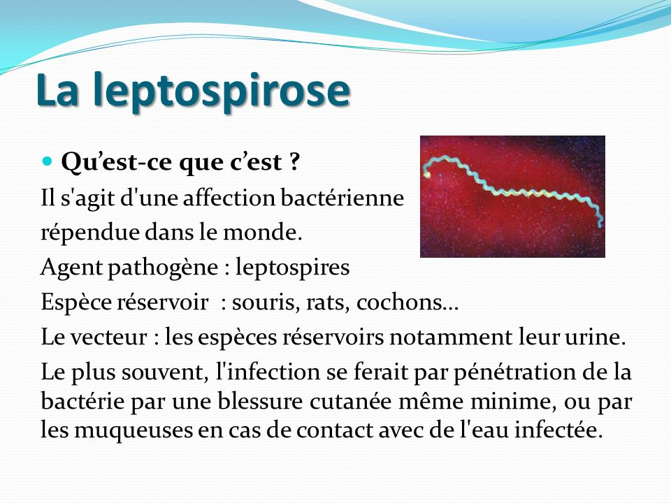 La leptospirose Qu'est-ce que c'est
