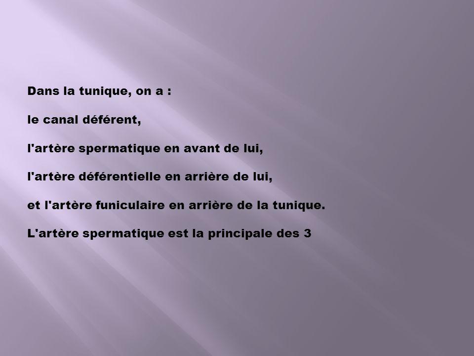 Dans la tunique, on a : le canal déférent, l artère spermatique en avant de lui, l artère déférentielle en arrière de lui,