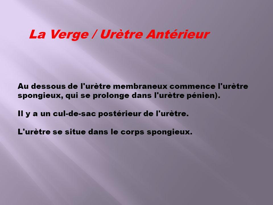La Verge / Urètre Antérieur