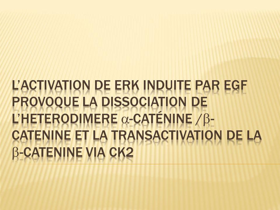 L'activation de ERK induite par EGF provoque la dissociation de l'heterodimere -caténine /-catenine et la transactivation de la -catenine via ck2