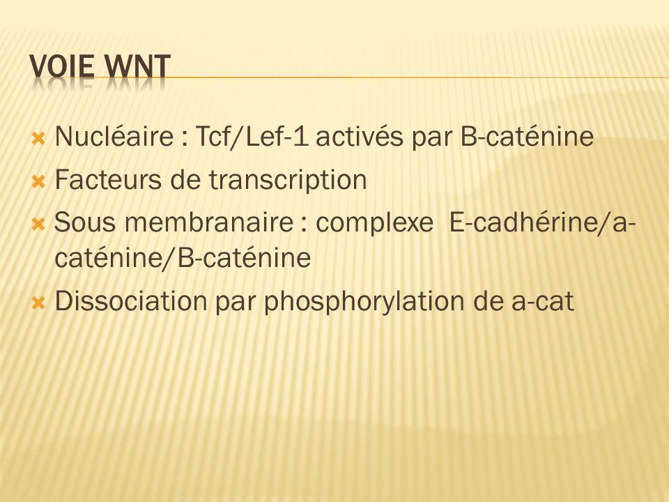 Voie Wnt Nucléaire : Tcf/Lef-1 activés par B-caténine