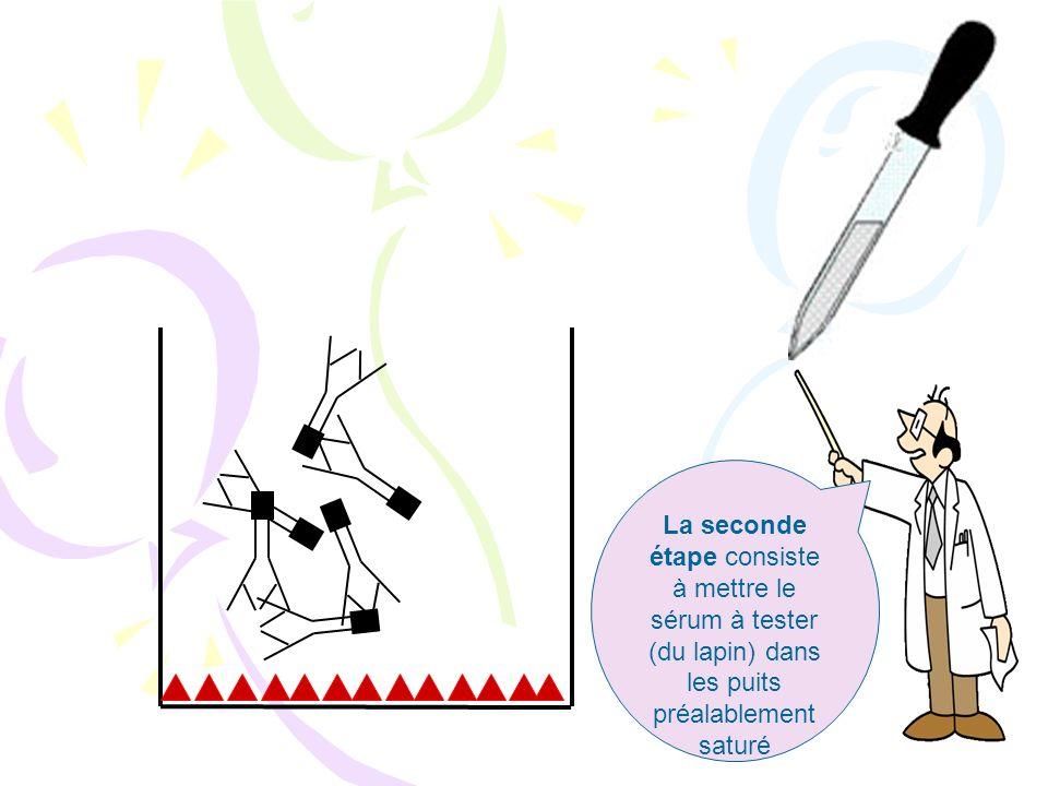 La seconde étape consiste à mettre le sérum à tester (du lapin) dans les puits préalablement saturé