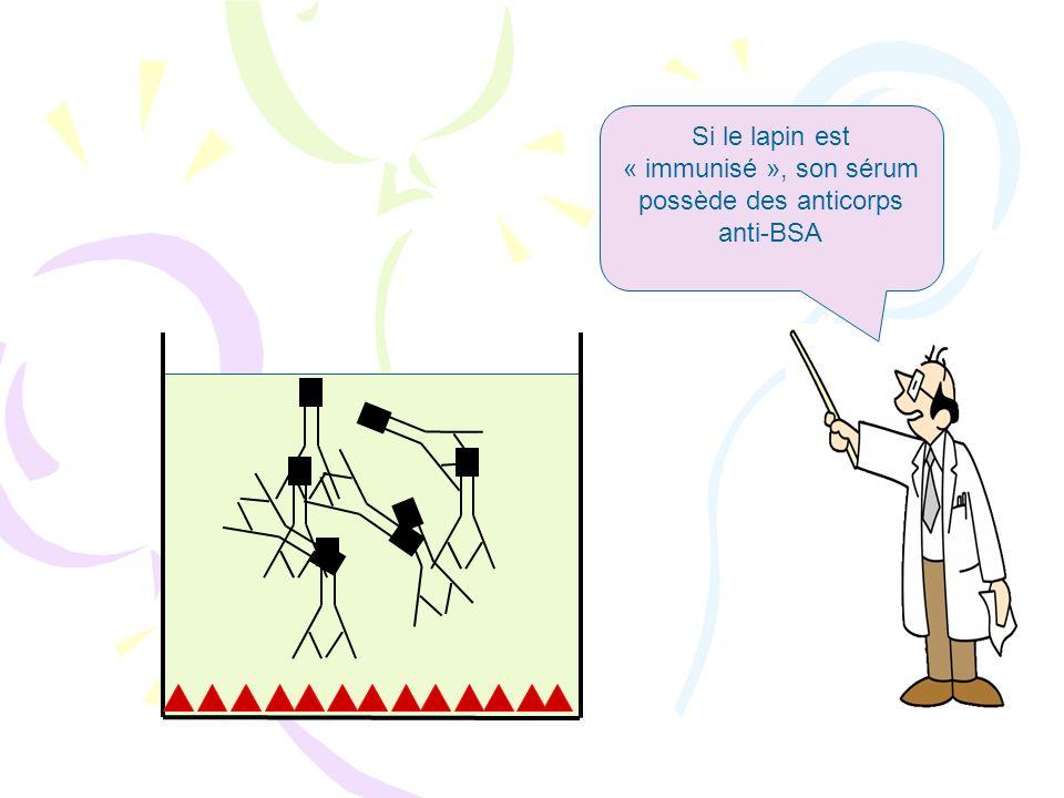 Si le lapin est « immunisé », son sérum possède des anticorps anti-BSA