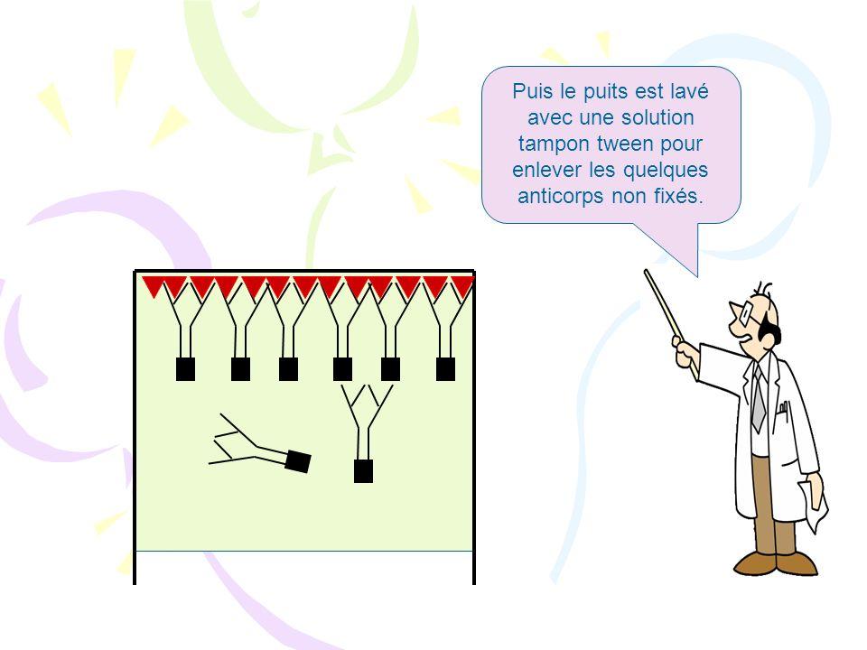 Puis le puits est lavé avec une solution tampon tween pour enlever les quelques anticorps non fixés.