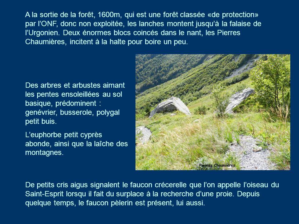 A la sortie de la forêt, 1600m, qui est une forêt classée «de protection» par l'ONF, donc non exploitée, les lanches montent jusqu'à la falaise de l'Urgonien. Deux énormes blocs coincés dans le nant, les Pierres Chaumières, incitent à la halte pour boire un peu.