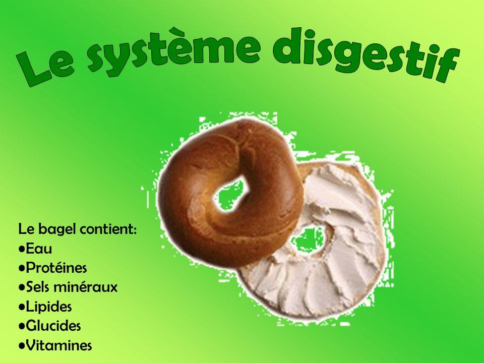 Le système disgestif Le bagel contient: Eau Protéines Sels minéraux