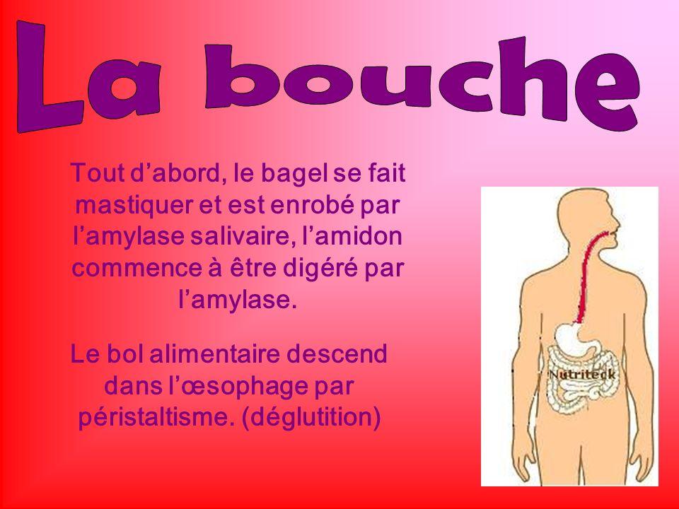 La bouche Tout d'abord, le bagel se fait mastiquer et est enrobé par l'amylase salivaire, l'amidon commence à être digéré par l'amylase.