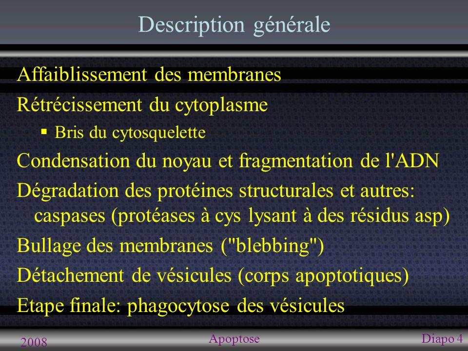 Phases cellulaires de l apoptose