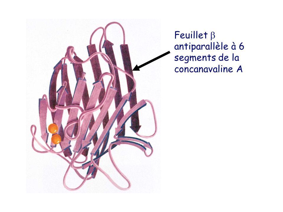 Feuillet  antiparallèle à 6 segments de la concanavaline A