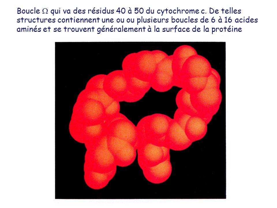 Boucle  qui va des résidus 40 à 50 du cytochrome c