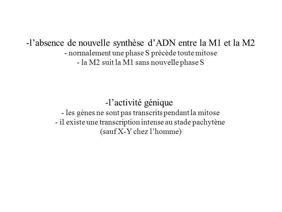 l'absence de nouvelle synthèse d'ADN entre la M1 et la M2