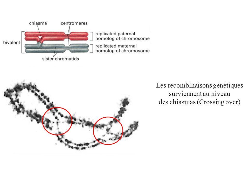 Les recombinaisons génétiques surviennent au niveau