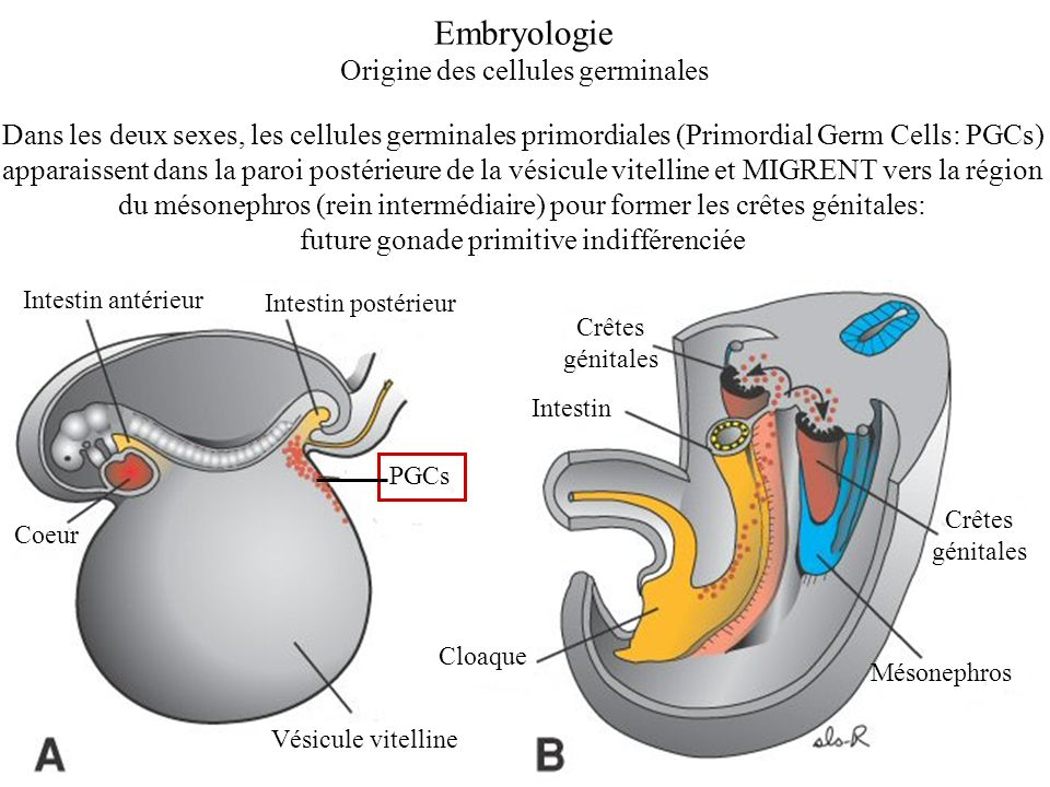 Embryologie Origine des cellules germinales