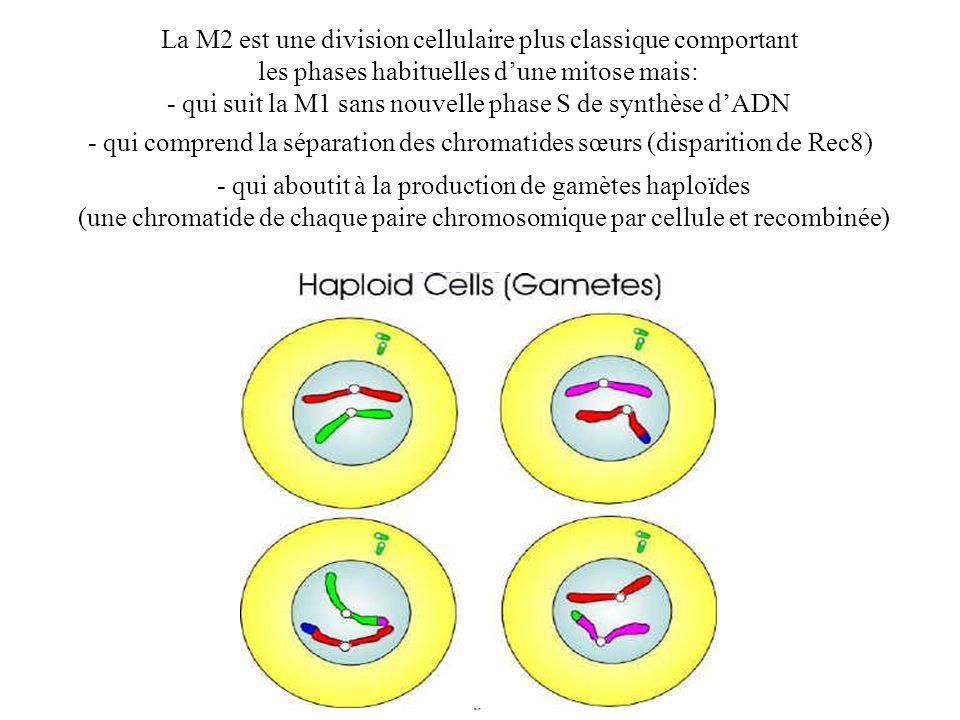 La M2 est une division cellulaire plus classique comportant