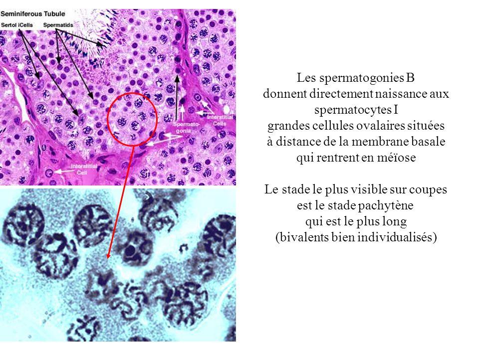 donnent directement naissance aux spermatocytes I