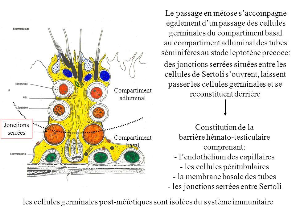 Le passage en méïose s'accompagne également d'un passage des cellules