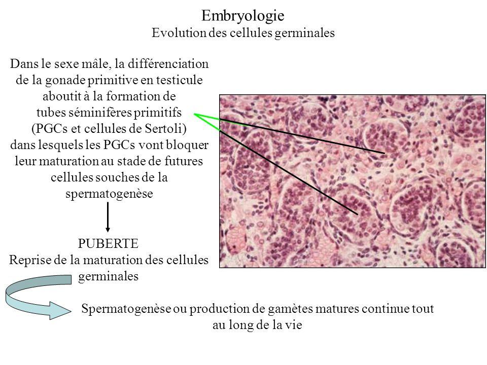 Embryologie Evolution des cellules germinales
