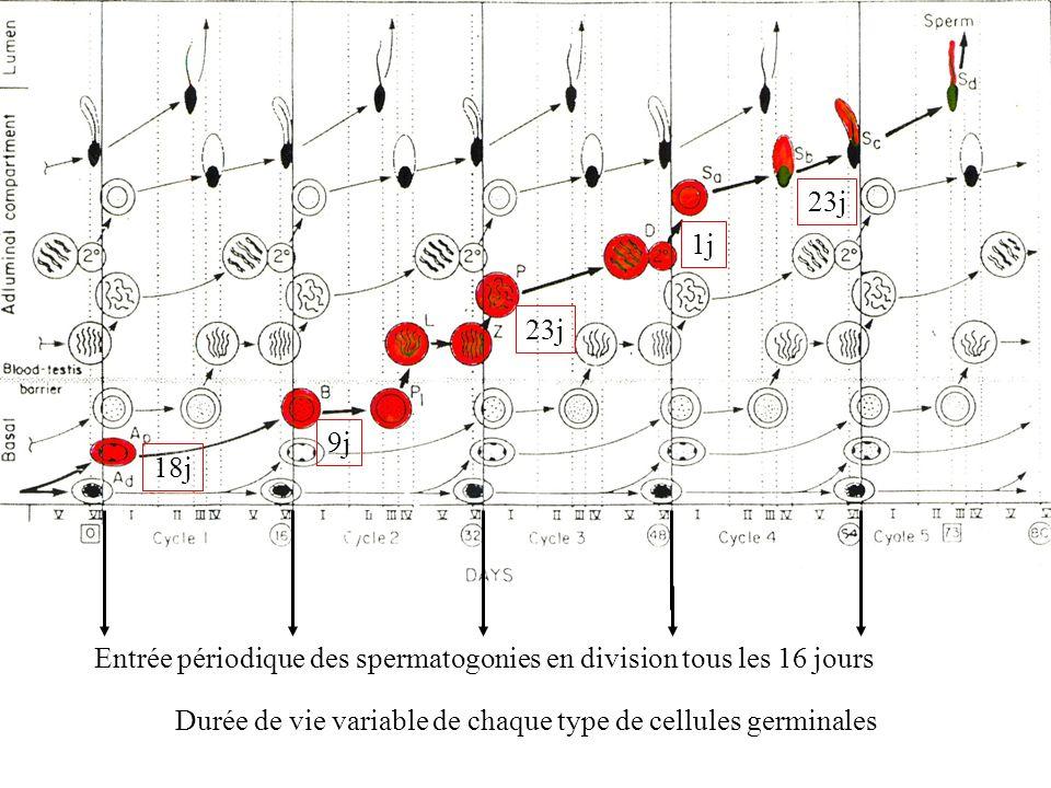 18j 9j. 23j. 1j. Durée de vie variable de chaque type de cellules germinales.