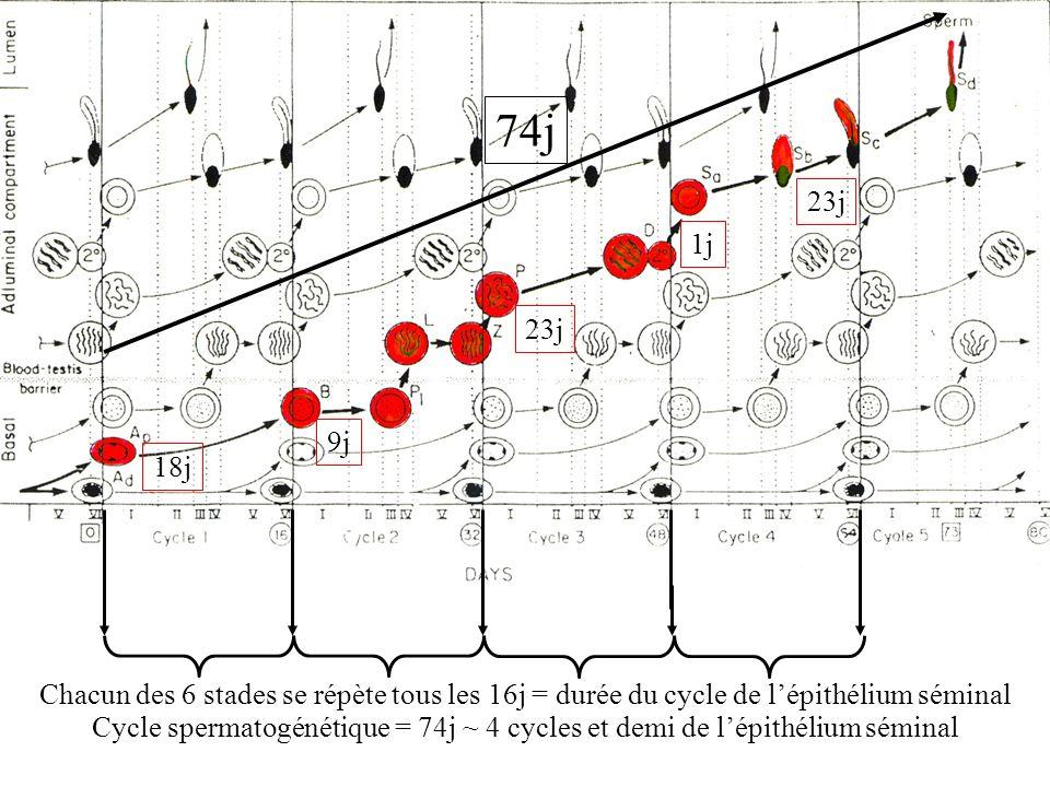 74j Cycle spermatogénétique = 74j ~ 4 cycles et demi de l'épithélium séminal. 23j. 1j. 23j. 9j.