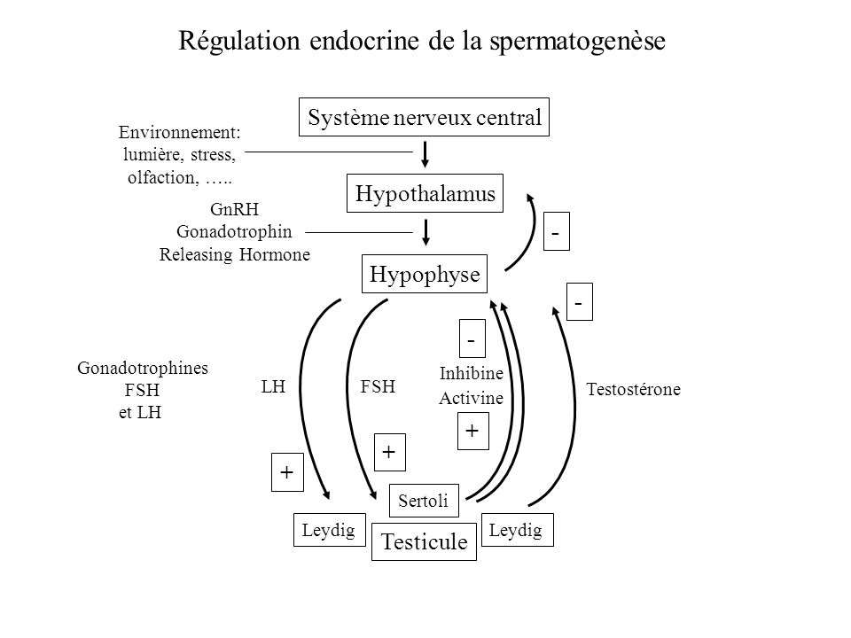 Régulation endocrine de la spermatogenèse