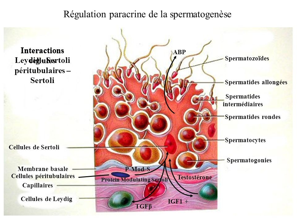 Régulation paracrine de la spermatogenèse