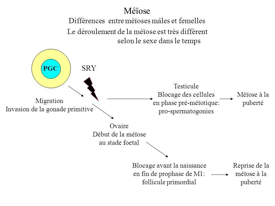 Méïose Différences entre méïoses mâles et femelles