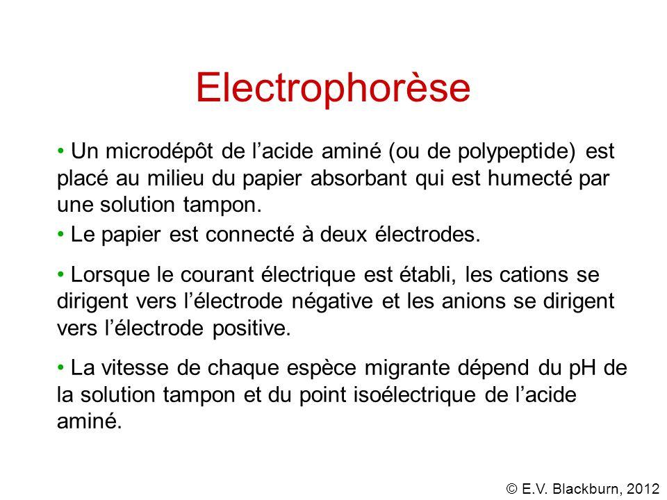 Electrophorèse Un microdépôt de l'acide aminé (ou de polypeptide) est placé au milieu du papier absorbant qui est humecté par une solution tampon.