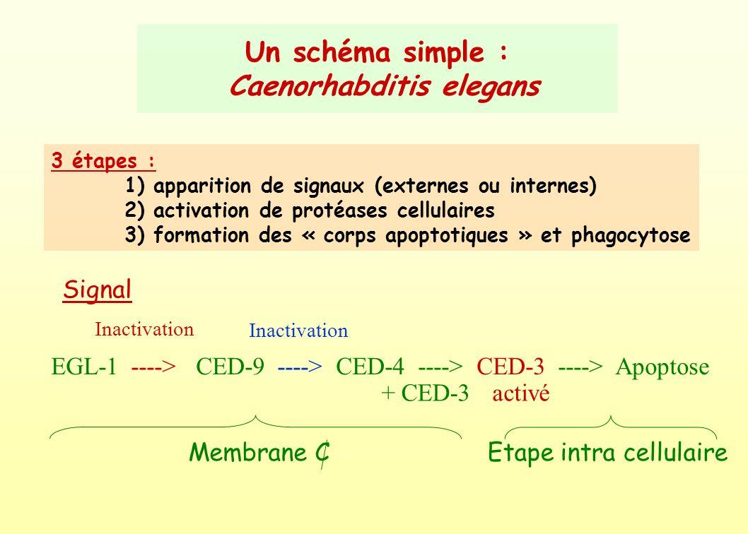 Un schéma simple : Caenorhabditis elegans