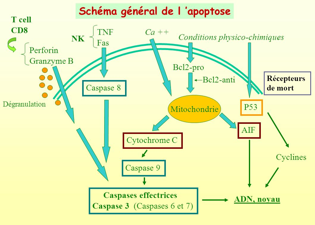 Schéma général de l 'apoptose