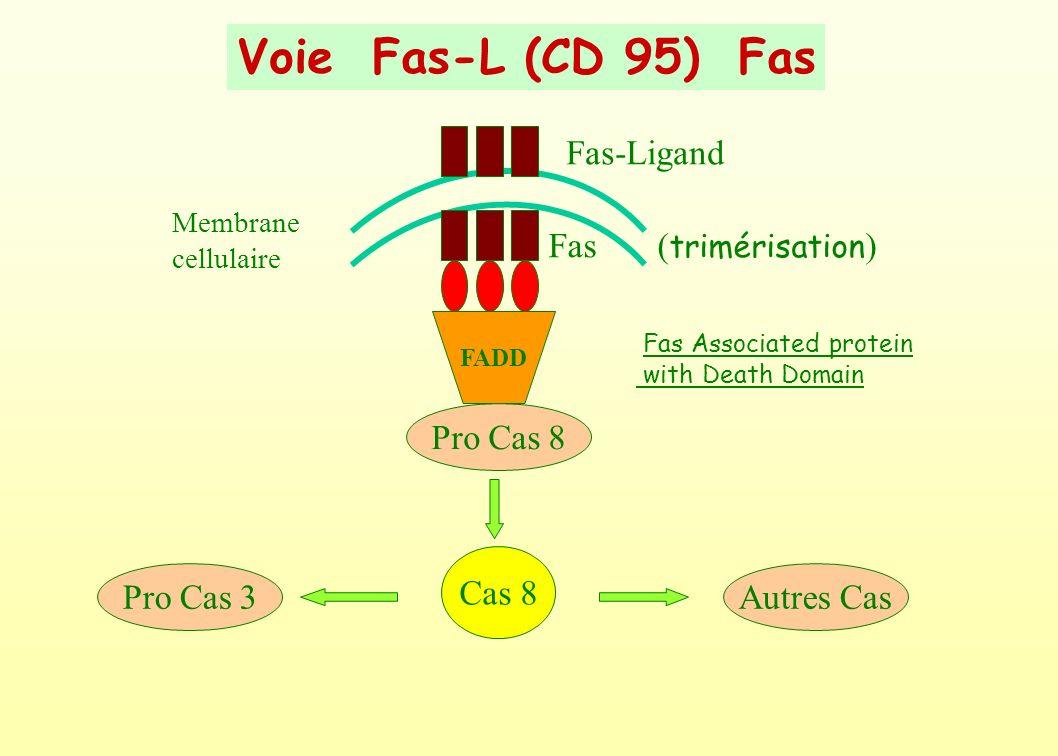 Voie Fas-L (CD 95) Fas Fas-Ligand Fas (trimérisation) Pro Cas 8 Cas 8