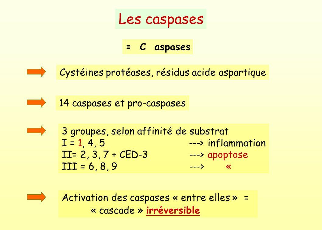 Les caspases = C aspases Cystéines protéases, résidus acide aspartique