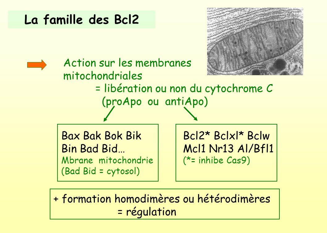 La famille des Bcl2 Action sur les membranes mitochondriales