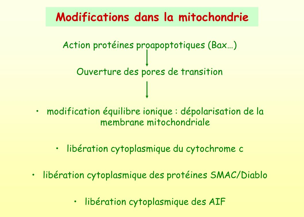Modifications dans la mitochondrie