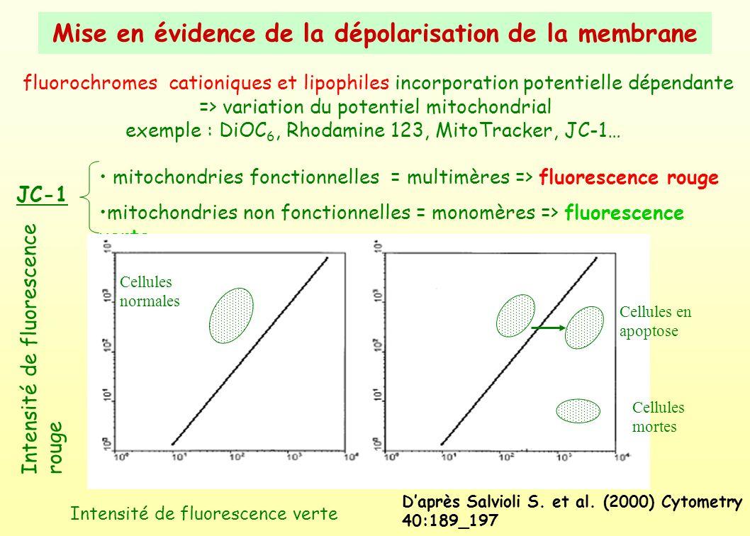 Mise en évidence de la dépolarisation de la membrane