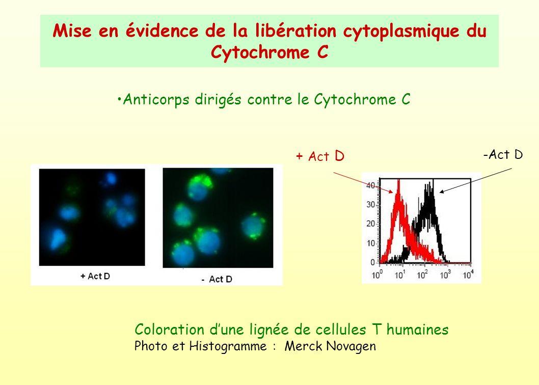 Mise en évidence de la libération cytoplasmique du Cytochrome C