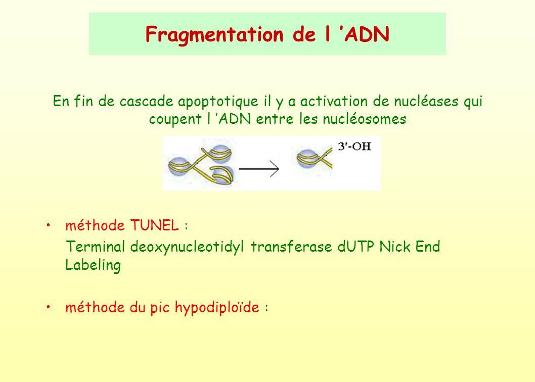 Fragmentation de l 'ADN