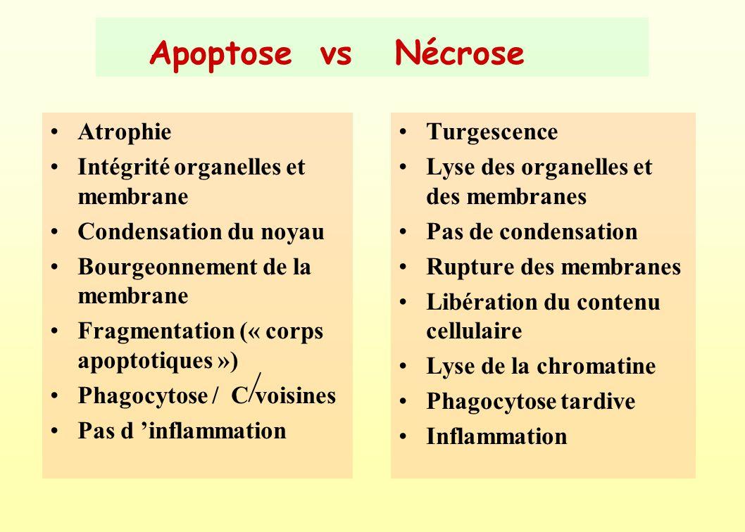 Apoptose vs Nécrose Atrophie Intégrité organelles et membrane
