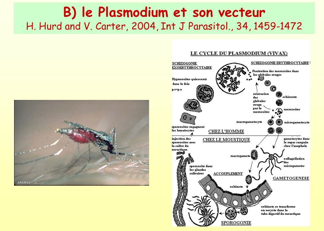 B) le Plasmodium et son vecteur H. Hurd and V