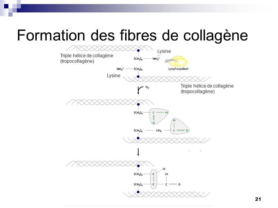 Formation des fibres de collagène