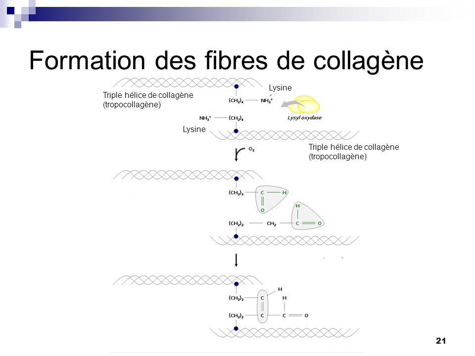 Formation des fibres de collagène