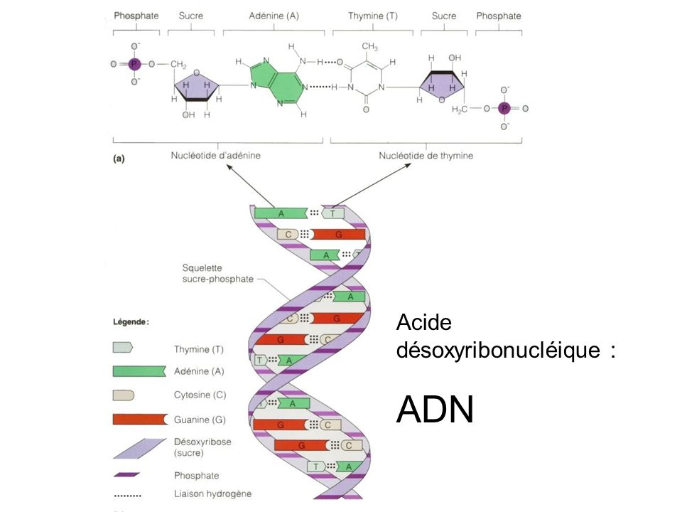 Acide désoxyribonucléique :