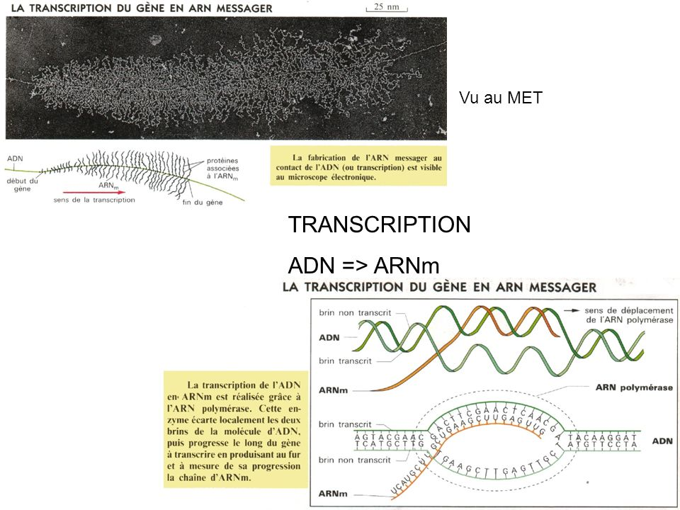 Vu au MET TRANSCRIPTION ADN => ARNm