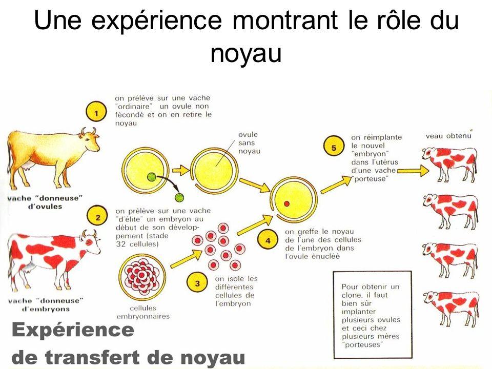 Une expérience montrant le rôle du noyau
