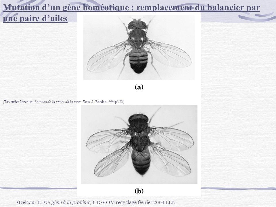 Mutation d'un gène homéotique : remplacement du balancier par une paire d'ailes
